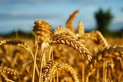 Find a local wheat source & stock up – 1/19/12