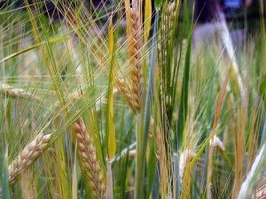 Barley, the forgotten grain
