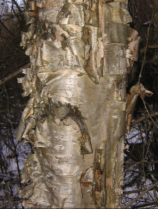 Multi-Use Birch – 3/18/12