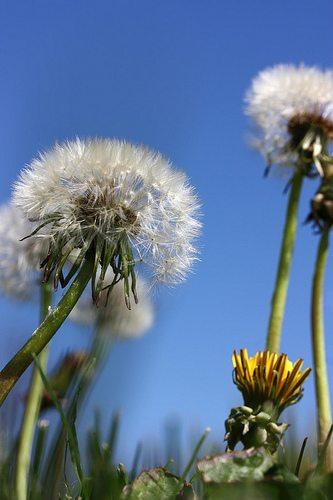 Benefits of dandelions.