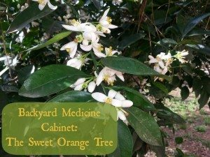 Orange blossoms (1)