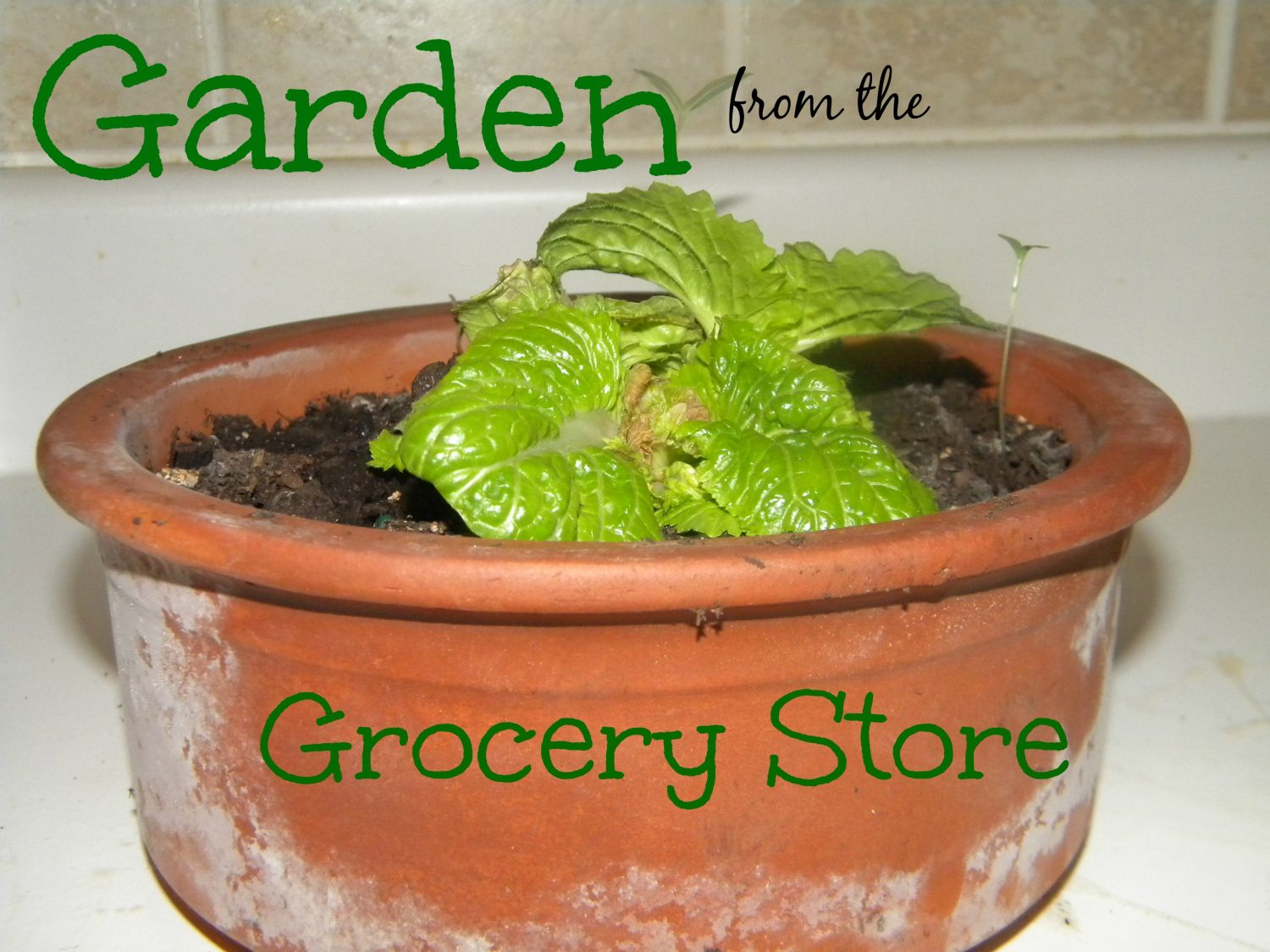 Garden from the Grocery Store Survival Mom