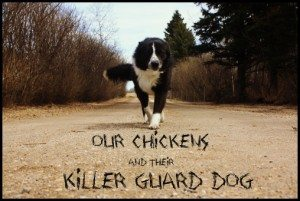 Our Chicken's Killer Guard Dog