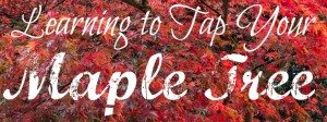 How to tap maple trees.