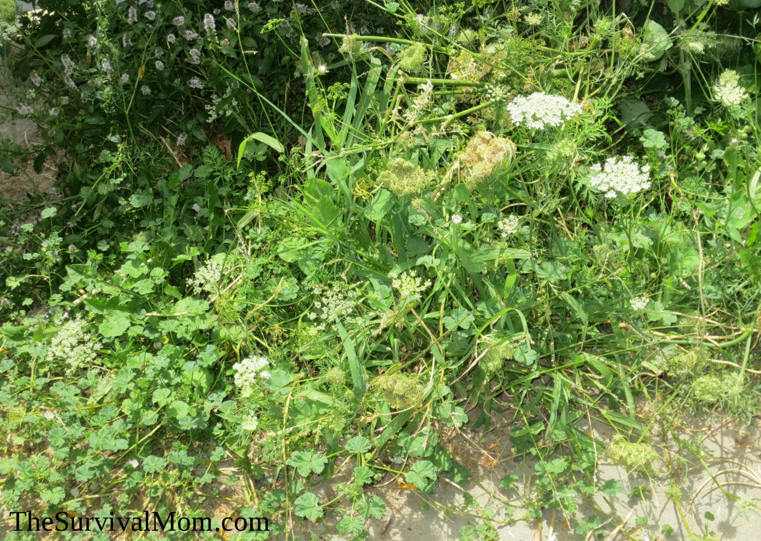 Identifying weeds in flower beds - The Author S Very Own Overgrown Flowerbed Pictured Common Mallow Peppermint Carrots And