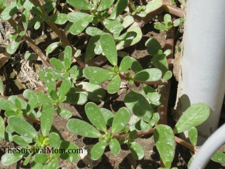 This purslane is growing in a traditional weedy place.