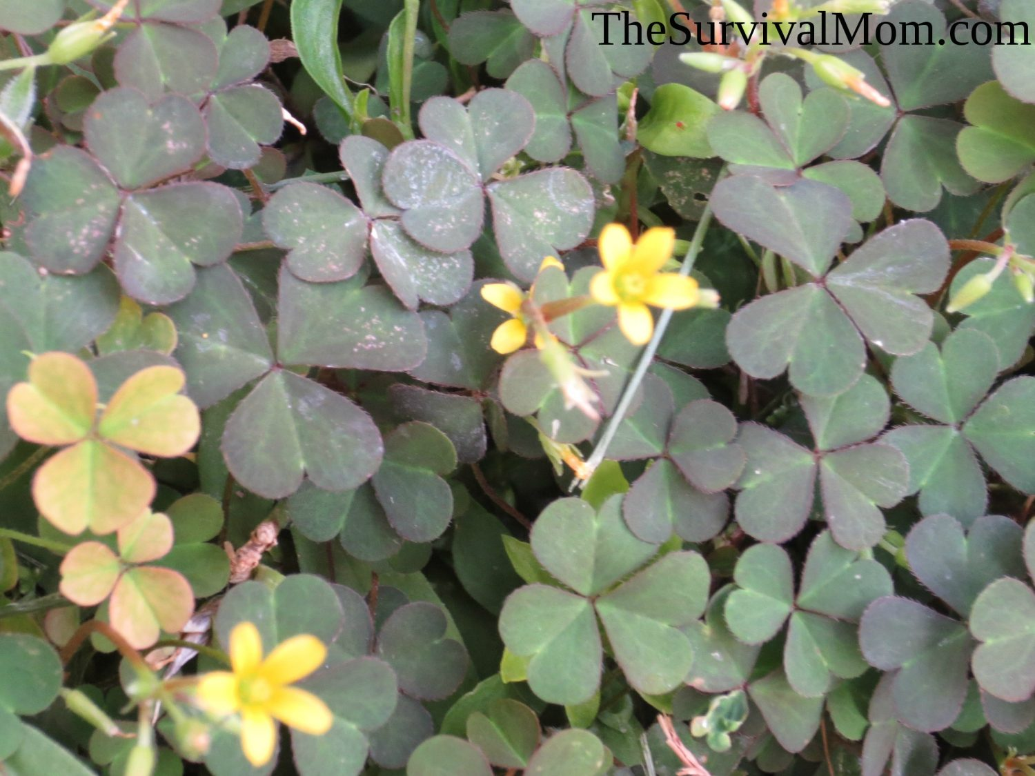 A Brief Guide To Edible Weeds The Survival Mom