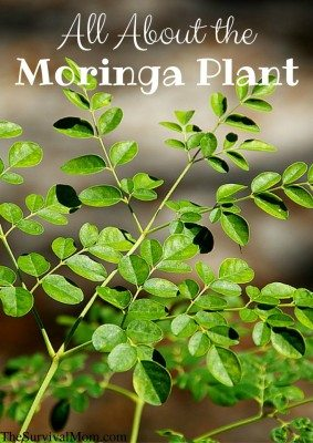 All About The Moringa Plant – GIVEAWAY!