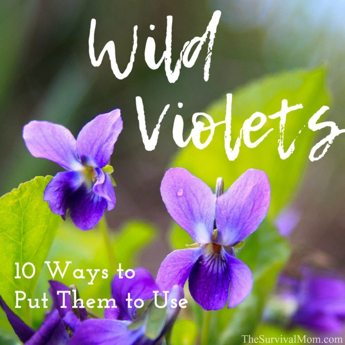 wild violets, wild violet weed,how to use wild violet, wild violet control